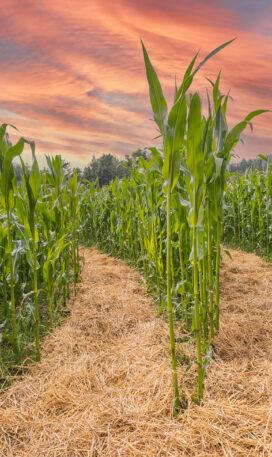 corn action labyrinth